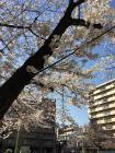 今池公園 桜
