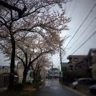 水道みち 桜
